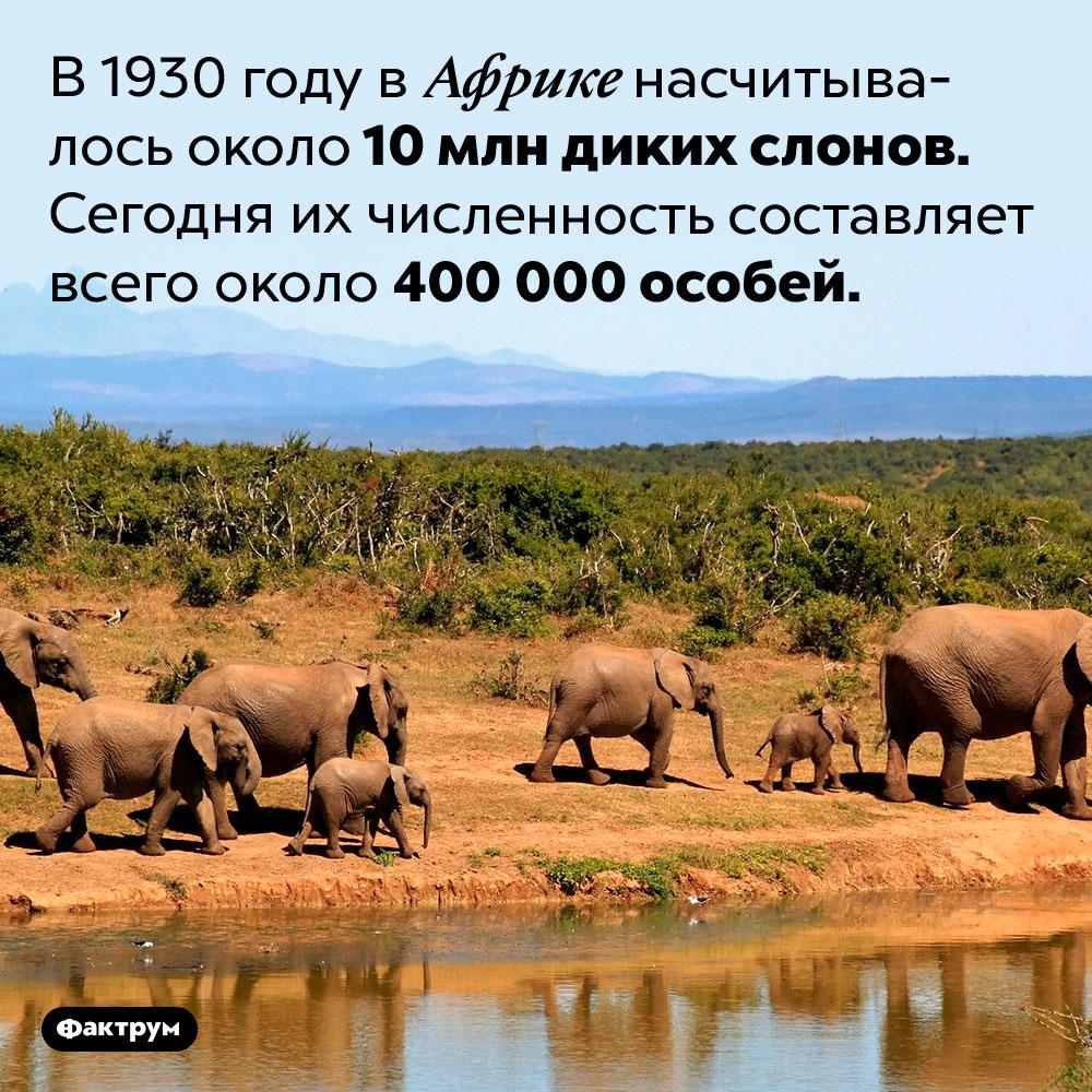 За последние сто лет популяция африканских слонов сильно сократилась. В 1930 году в Африке насчитывалось около 10 млн диких слонов. Сегодня их численность составляет всего около 400 000 особей.