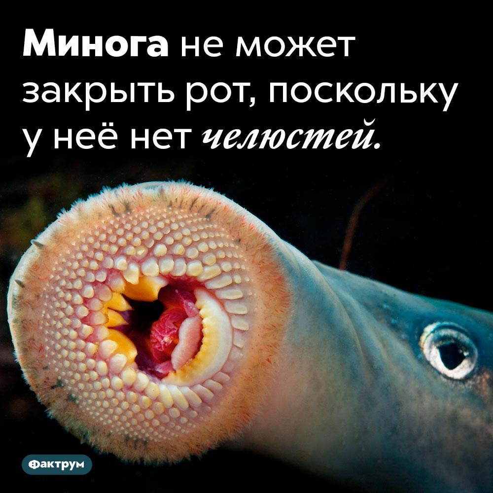 Почему минога неможет закрыть рот. Минога не может закрыть рот, поскольку у неё нет челюстей.