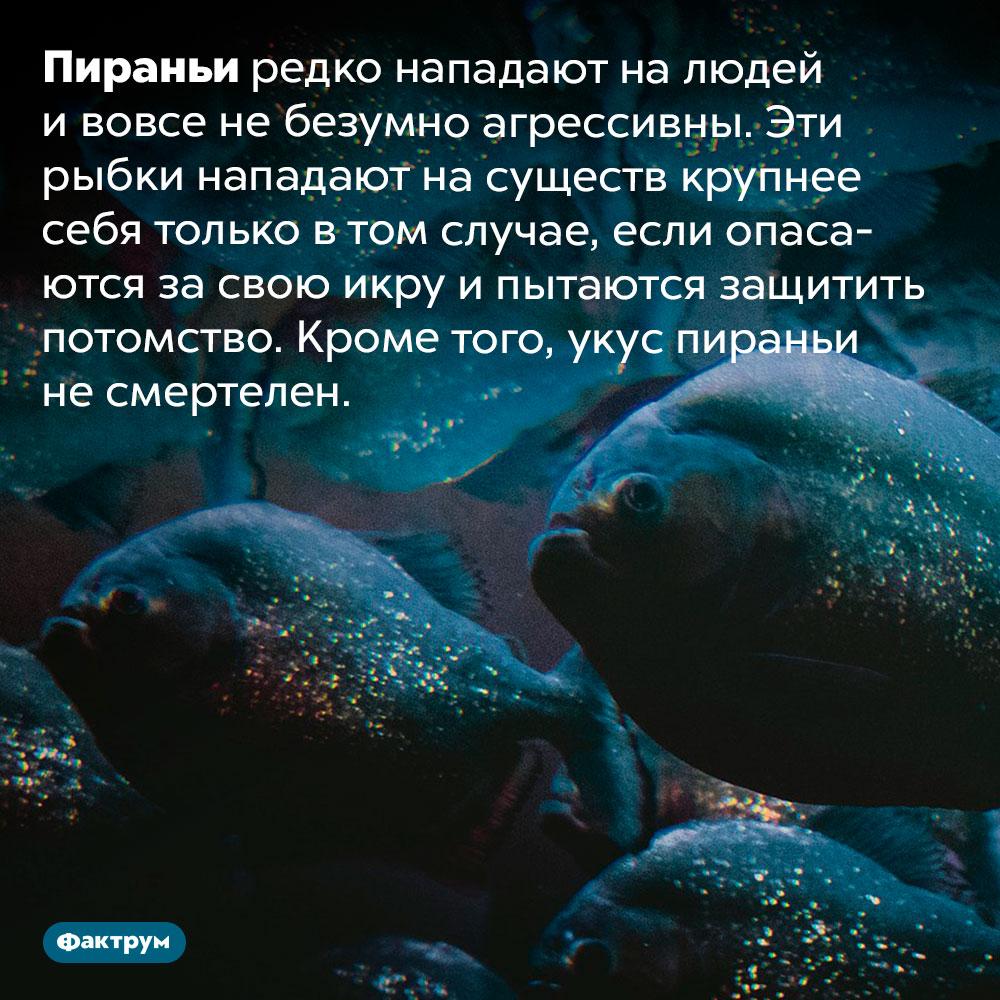 Опасность пираний для людей сильно преувеличена. Пираньи редко нападают на людей и вовсе не безумно агрессивны. Эти рыбки нападают на существ крупнее себя только в том случае, если опасаются за свою икру и пытаются защитить потомство. Кроме того, укус пираньи не смертелен.
