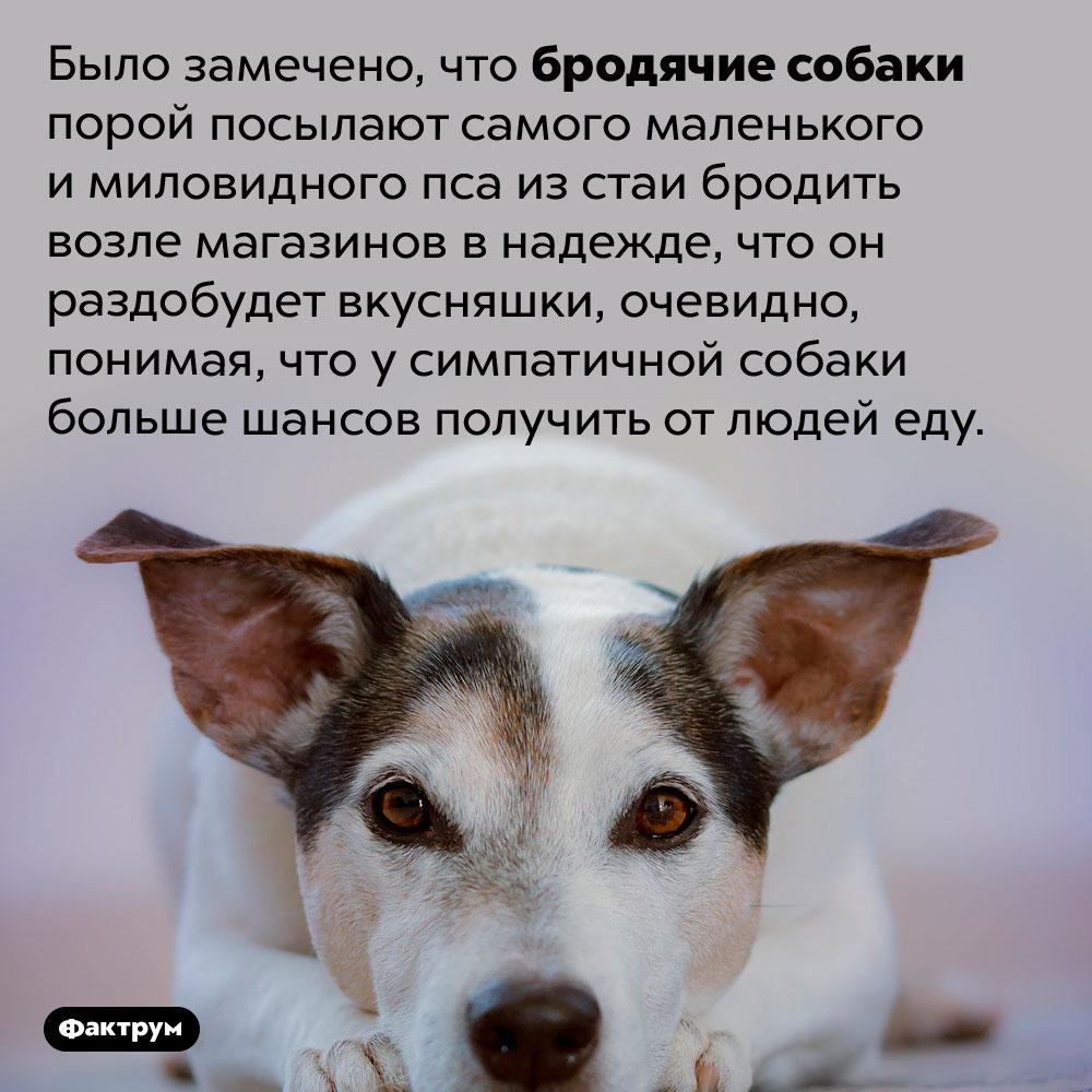 Собаки посылают просить еду самого симпатичного пса изстаи. Было замечено, что бродячие собаки порой посылают самого маленького и миловидного пса из стаи бродить возле магазинов в надежде, что он раздобудет вкусняшки, очевидно, понимая, что симпатичной собаки больше шансов получить от людей еду.