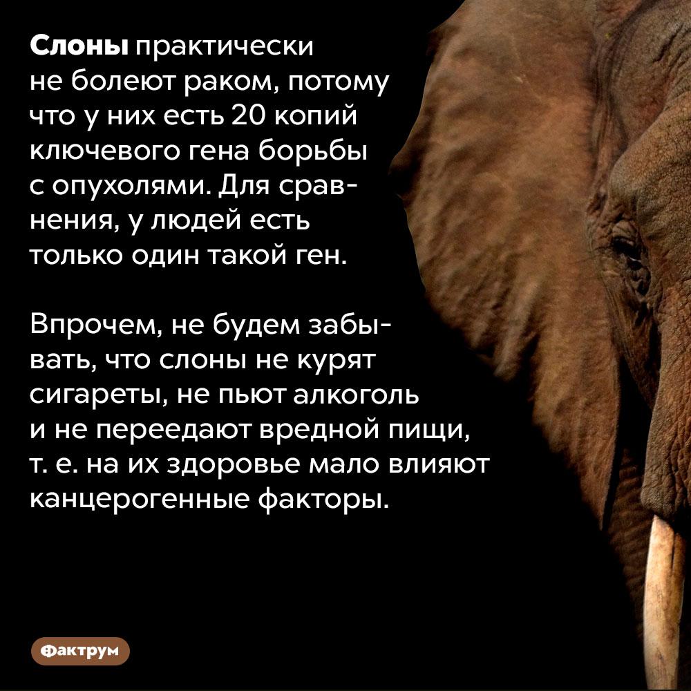 Почему слоны неболеют раком. Слоны практически не болеют раком, потому что у них есть 20 копий ключевого гена борьбы с опухолями. Для сравнения, у людей есть только один такой ген. Впрочем, не будем забывать, что слоны не курят сигареты, не пьют алкоголь и не переедают вредной пищи, т. е. на их здоровье мало влияют канцерогенные факторы.