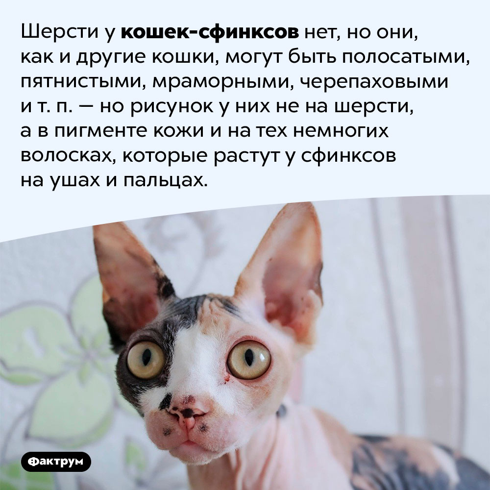 Кошки-сфинксы могут иметь различные рисунки иокрасы. Шерсти у кошек-сфинксов нет, но они, как и другие кошки, могут быть полосатыми, пятнистыми, мраморными, черепаховыми и т. п. — но рисунок у них не на шерсти, а в пигменте кожи и на тех немногих волосках, которые растут у сфинксов на ушах и пальцах.