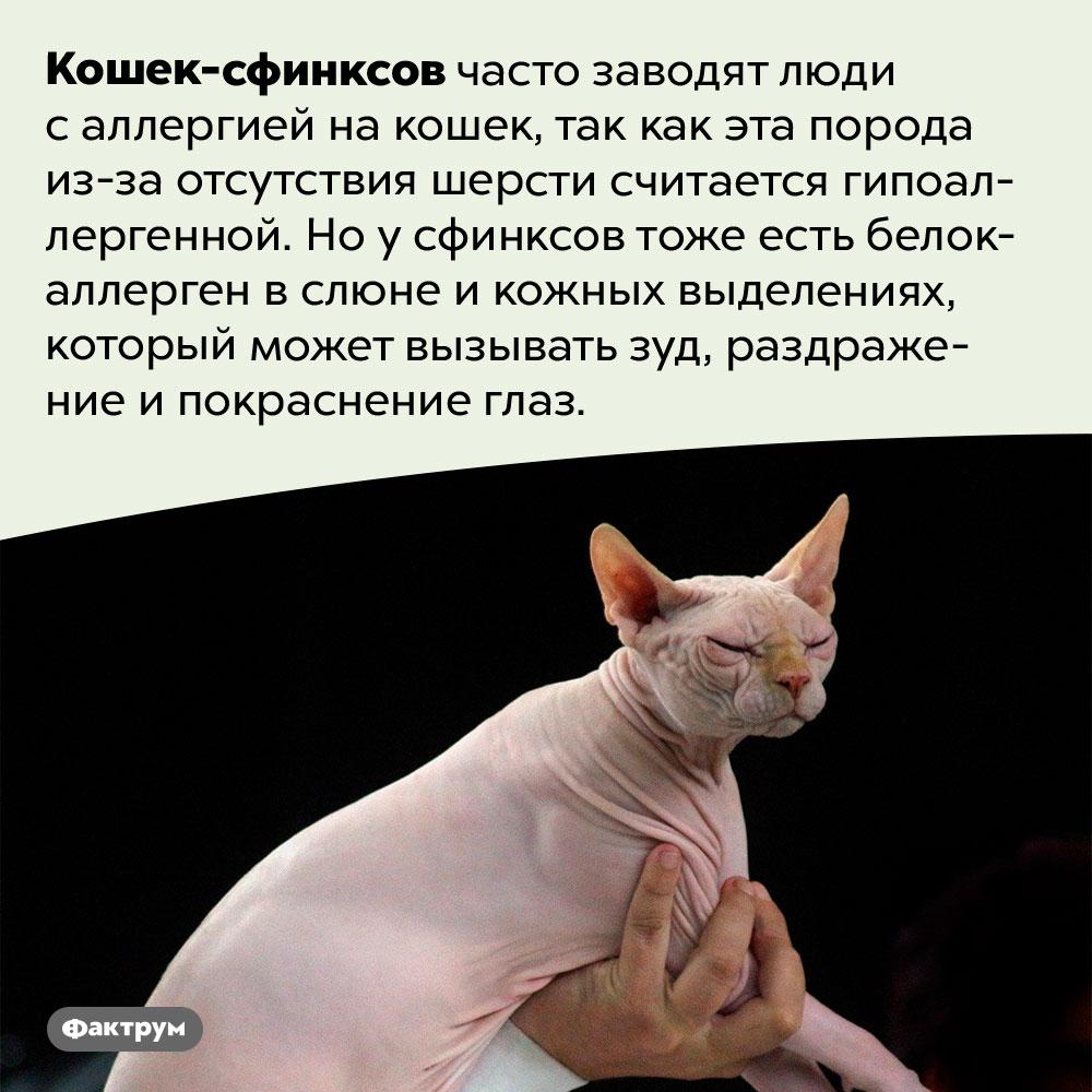 Кошки-сфинксы негипоаллергенны. Сфинксов часто заводят люди с аллергией на кошек, так как эта порода из-за отсутствия шерсти считается гипоаллергенной. Но у сфинксов тоже есть белок-аллерген в слюне и кожных выделениях, который может вызывать зуд, раздражение и покраснение глаз.