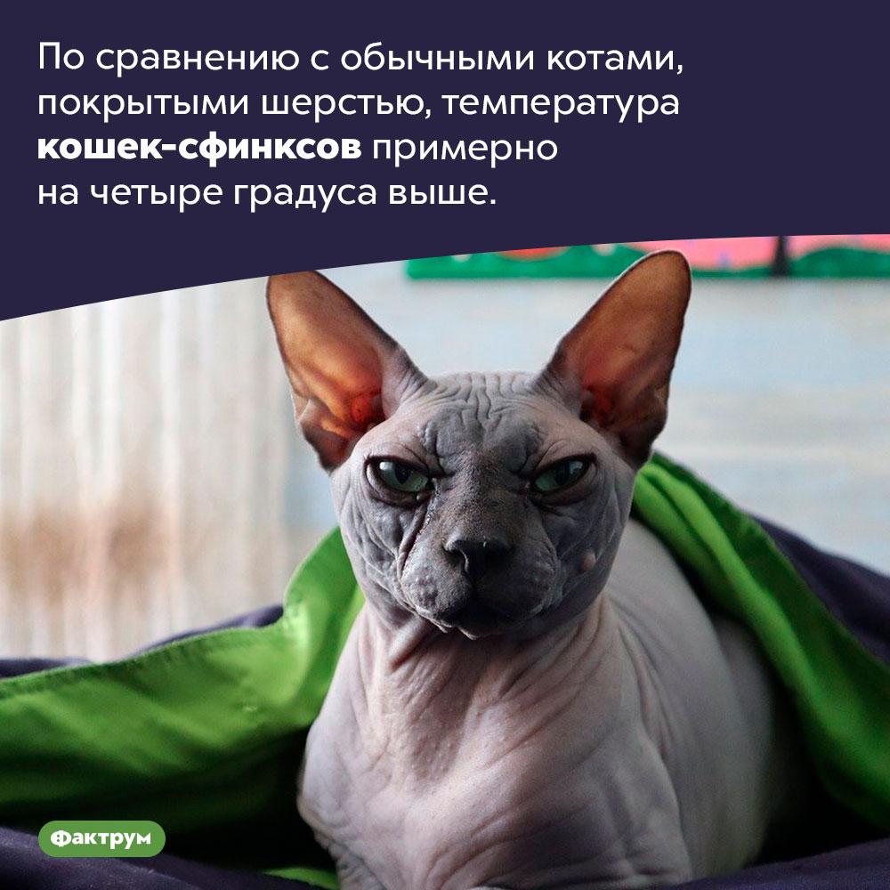 Кошки-сфинксы теплее других кошек. По сравнению с обычными котами, покрытыми шерстью, температура кошек-сфинксов примерно на четыре градуса выше.