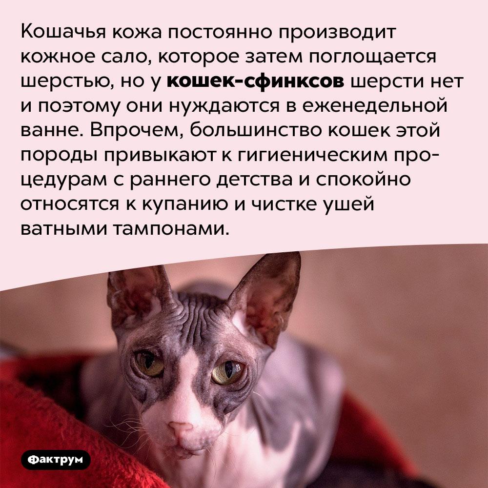 Кошек-сфинксов надо мыть. Кошачья кожа постоянно производит кожное сало, которое затем поглощается шерстью, но у кошек-сфинксов шерсти нет и поэтому они нуждаются в еженедельной ванне. Впрочем, большинство кошек этой породы привыкают к гигиеническим процедурам с раннего детства и спокойно относятся к купанию и чистке ушей ватными тампонами.