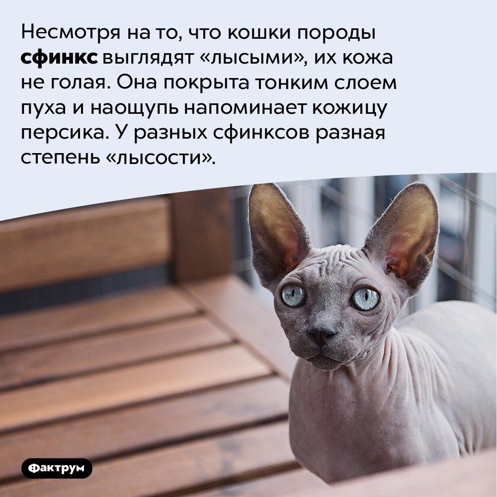 Кошки-сфинксы нелысые. Несмотря на то, что кошки породы сфинкс выглядят «лысыми», их кожа не голая. Она покрыта тонким слоем пуха и наощупь напоминает кожицу персика. У разных сфинксов разная степень «лысости».