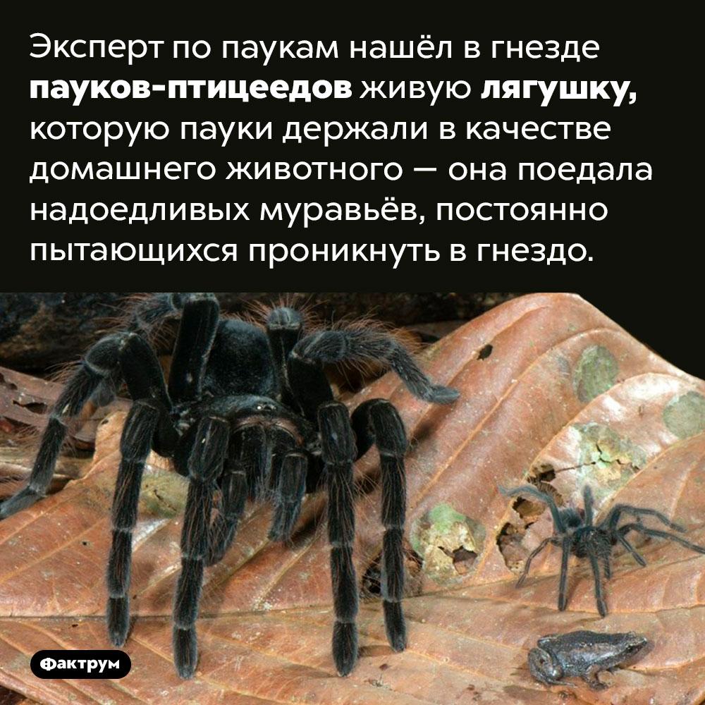 Лягушка как паучье домашнее животное.  Эксперт по паукам нашёл в гнезде пауков-птицеедов живую лягушку, которую пауки держали в качестве домашнего животного — она поедала надоедливых муравьёв, постоянно пытающихся проникнуть в гнездо.