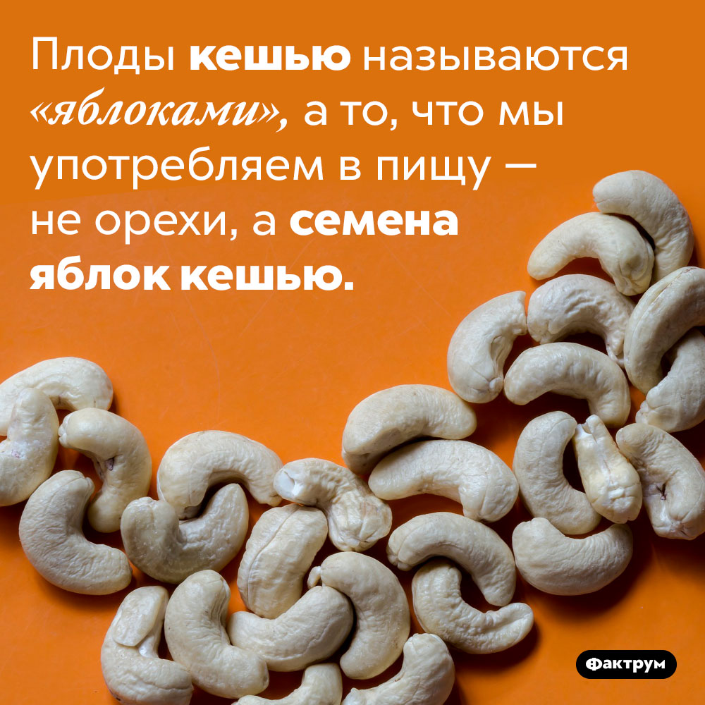 Кешью — это неорехи, асемена. Плоды кешью называются «яблоками», а то, что мы употребляем в пищу — не орехи, а семена яблок кешью.