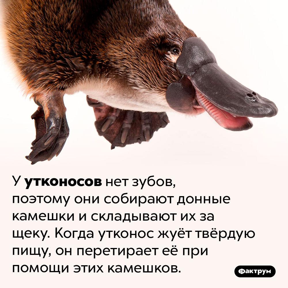 Зачем утконосу камешки защекой. У утконосов нет зубов, поэтому они собирают донные камешки и складывают их за щеку. Когда утконос жуёт твёрдую пищу, он перетирает её при помощи этих камешков.