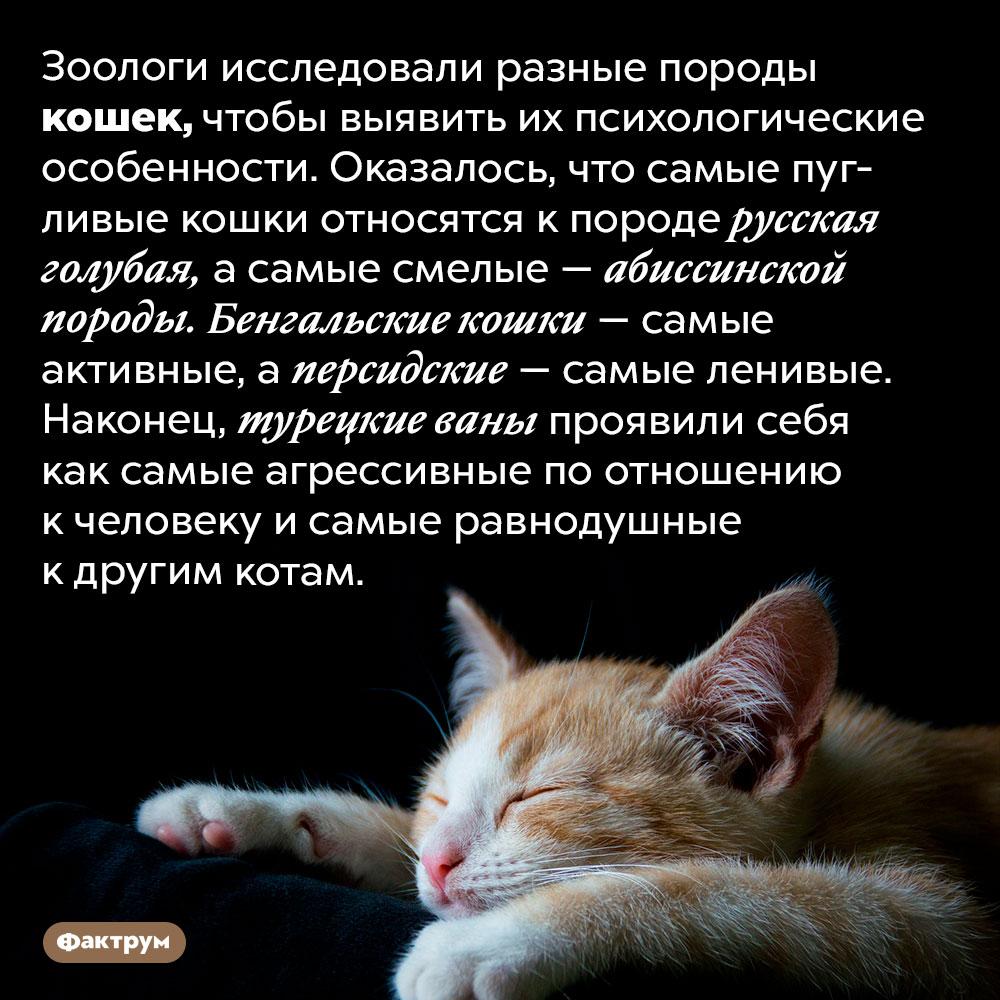 У какой породы кошек какой характер. Зоологи исследовали разные породы кошек, чтобы выявить их психологические особенности. Оказалось, что самые пугливые кошки относятся к породе русская голубая, а самые смелые — абиссинской породы. Бенгальские кошки — самые активные, а персидские — самые ленивые. Наконец, турецкие ваны проявили себя как самые агрессивные по отношению к человеку и самые равнодушные к другим котам.