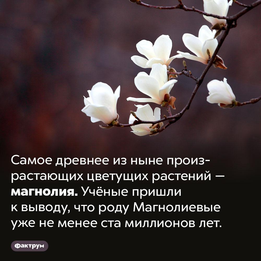 Самое древнее растение. Самое древнее из ныне произрастающих цветущих растений — магнолия. Учёные пришли к выводу, что роду Магнолиевые уже не менее ста миллионов лет.