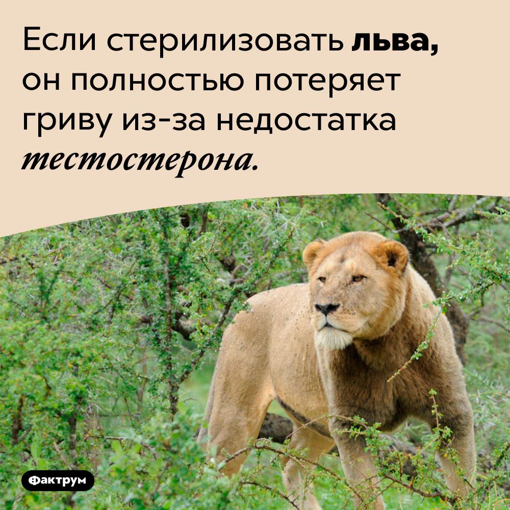 Что будет, если стерилизовать льва. Если стерилизовать льва, он полностью потеряет гриву из-за недостатка тестостерона.