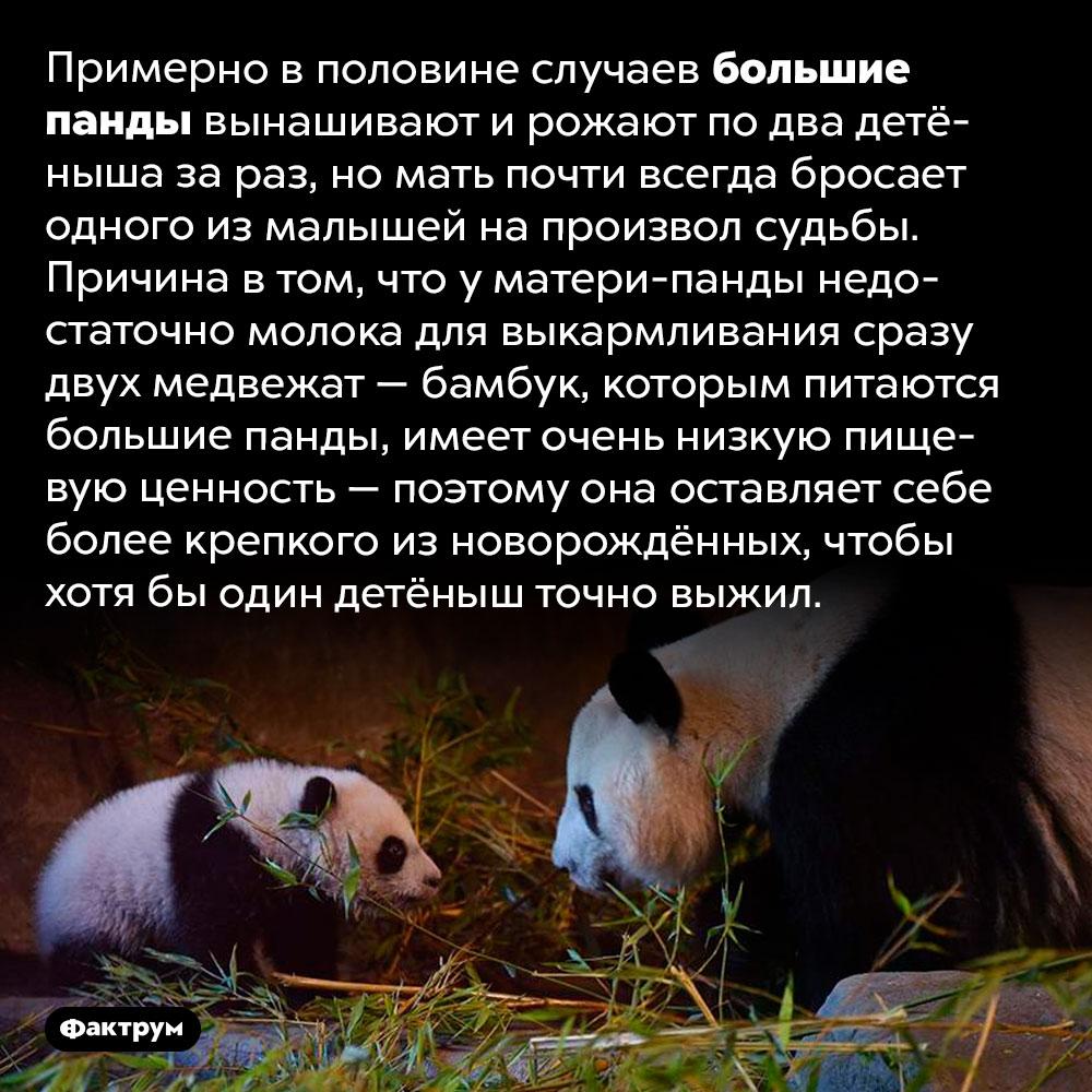Почему мамы-панды бросают своих детёнышей. Примерно в половине случаев большие панды вынашивают и рожают по два детёныша за раз, но мать почти всегда бросает одного из малышей на произвол судьбы. Причина в том, что у матери-панды недостаточно молока для выкармливания сразу двух медвежат — бамбук, которым питаются большие панды, имеет очень низкую пищевую ценность — поэтому она оставляет себе более крепкого из новорождённых, чтобы хотя бы один детёныш точно выжил.