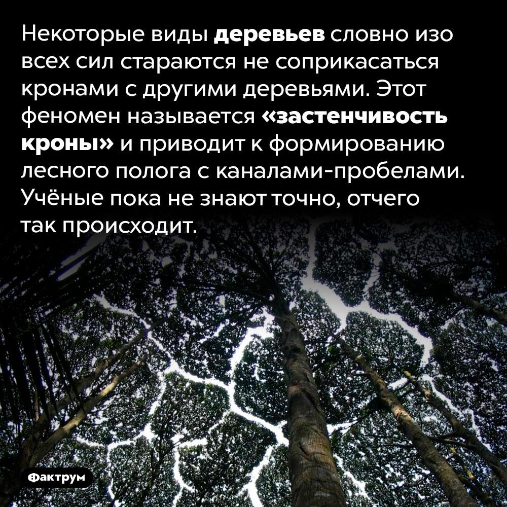 Что такое «застенчивость кроны». Некоторые виды деревьев словно изо всех сил стараются не соприкасаться кронами с другими деревьями. Этот феномен называется «застенчивость кроны» и приводит к формированию лесного полога с каналами-пробелами. Учёные пока не знают точно, отчего так происходит.