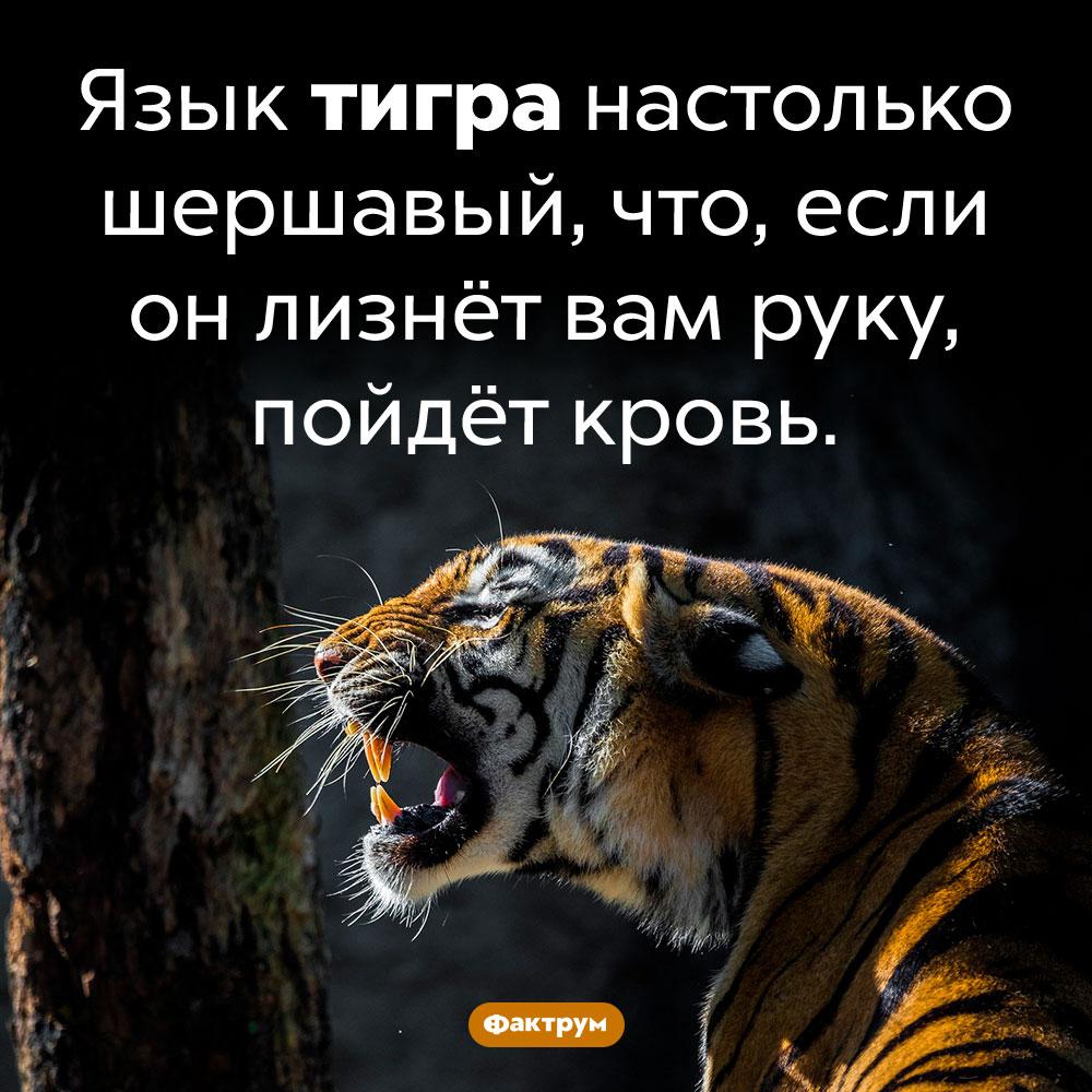 В чём особенность тигрового языка. Язык тигра настолько шершавый, что, если он лизнёт вам руку, пойдёт кровь.
