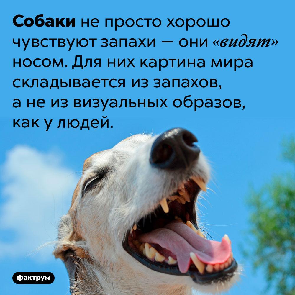 Собаки видят носом. Собаки не просто хорошо чувствуют запахи — они «видят» носом. Для них картина мира складывается из запахов, а не из визуальных образов, как у людей.