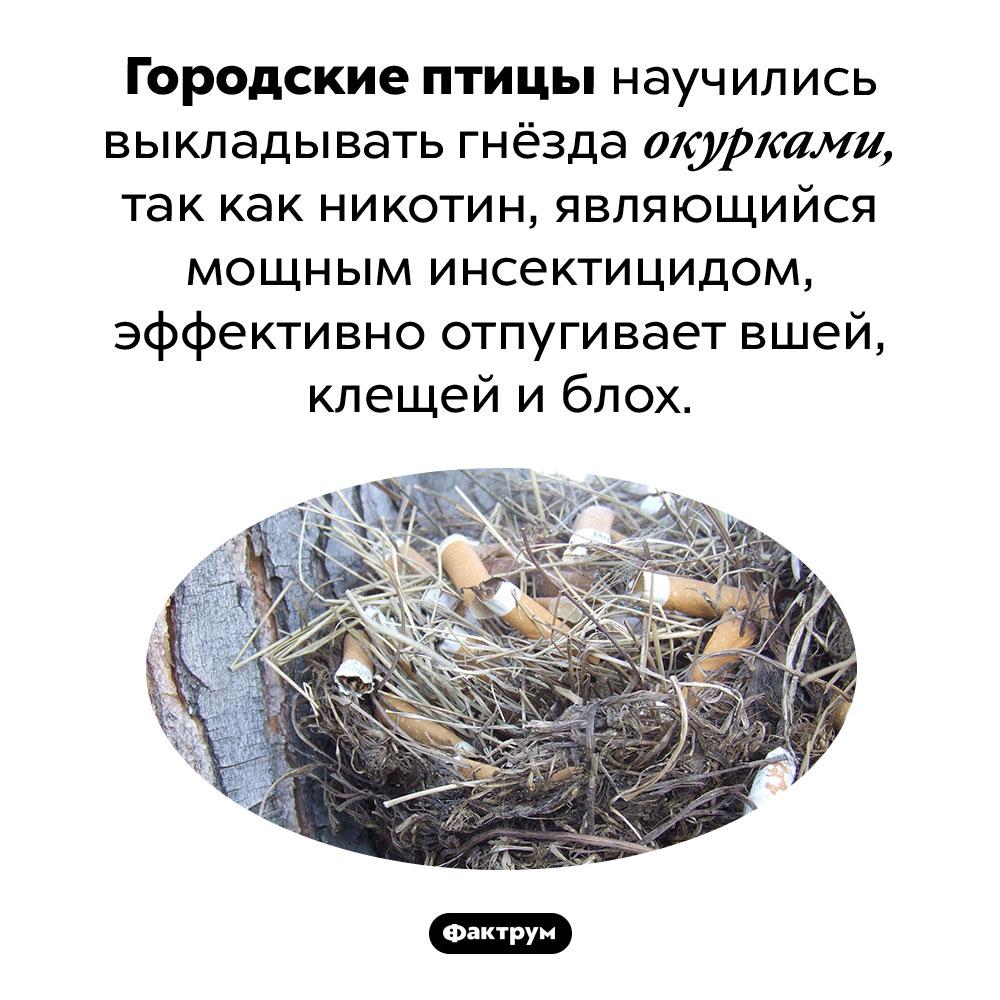 Городские птицы выкладывают гнёзда окурками. Городские птицы научились выкладывать гнёзда окурками, так как никотин, являющийся мощным инсектицидом, эффективно отпугивает вшей, клещей и блох.