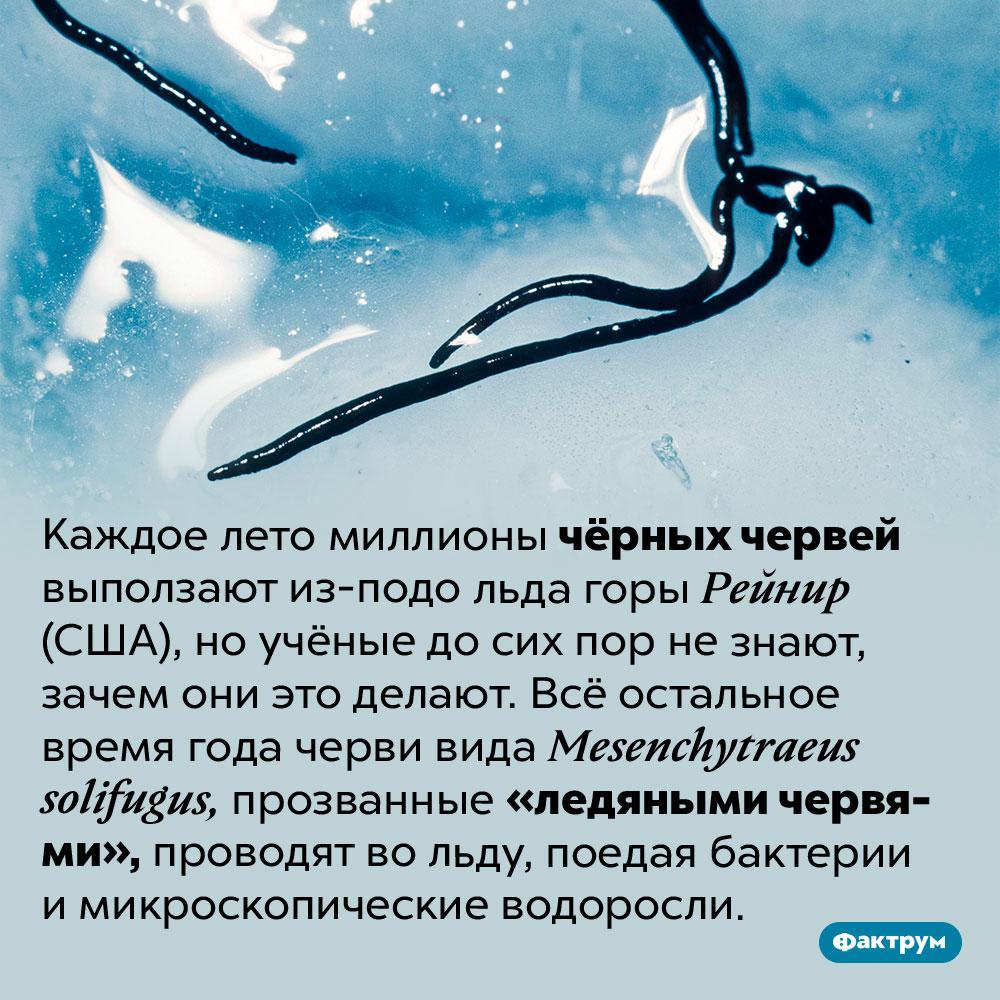 Ледяные черви. Каждое лето миллионы чёрных червей выползают из-подо льда горы Рейнир (США), но учёные до сих пор не знают, зачем они это делают. Всё остальное время года черви вида <em>Mesenchytraeus solifugus,</em> прозванные «ледяными червями», проводят во льду, поедая бактерии и микроскопические водоросли.