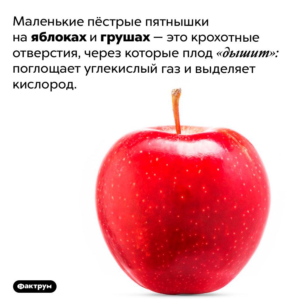 Почему наяблоках есть маленькие пятнышки. Маленькие пёстрые пятнышки на яблоках и грушах — это крохотные отверстия, через которые плод «дышит»: поглощает углекислый газ и выделяет кислород.