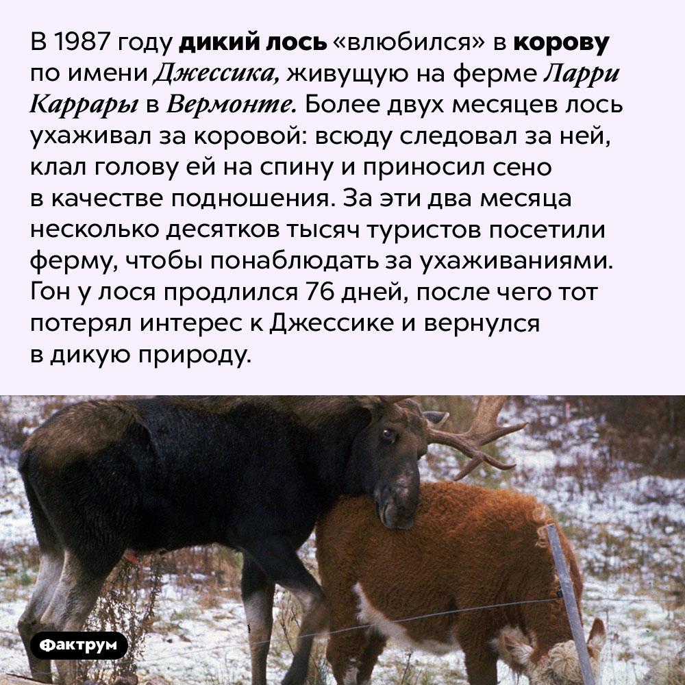 Лось для Джессики. В 1987 году дикий лось «влюбился» в корову по имени Джессика, живущую на ферме Ларри Каррары в Вермонте. Более двух месяцев лось ухаживал за коровой: всюду следовал за ней, клал голову ей на спину и приносил сено в качестве подношения. За эти два месяца несколько десятков тысяч туристов посетили ферму, чтобы понаблюдать за ухаживаниями. Гон у лося продлился 76 дней, после чего тот потерял интерес к Джессике и вернулся в дикую природу.