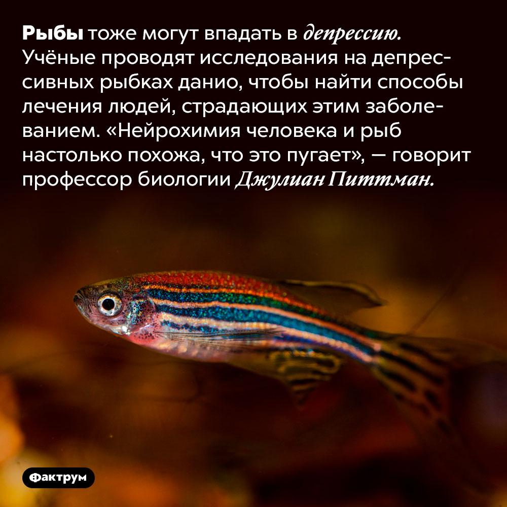 Рыбы могут впадать вдепрессию.  Рыбы тоже могут впадать в депрессию. Учёные проводят исследования на депрессивных рыбках данио, чтобы найти способы лечения людей, страдающих этим заболеванием. «Нейрохимия человека и рыб настолько похожа, что это пугает», — говорит профессор биологии Джулиан Питтман.