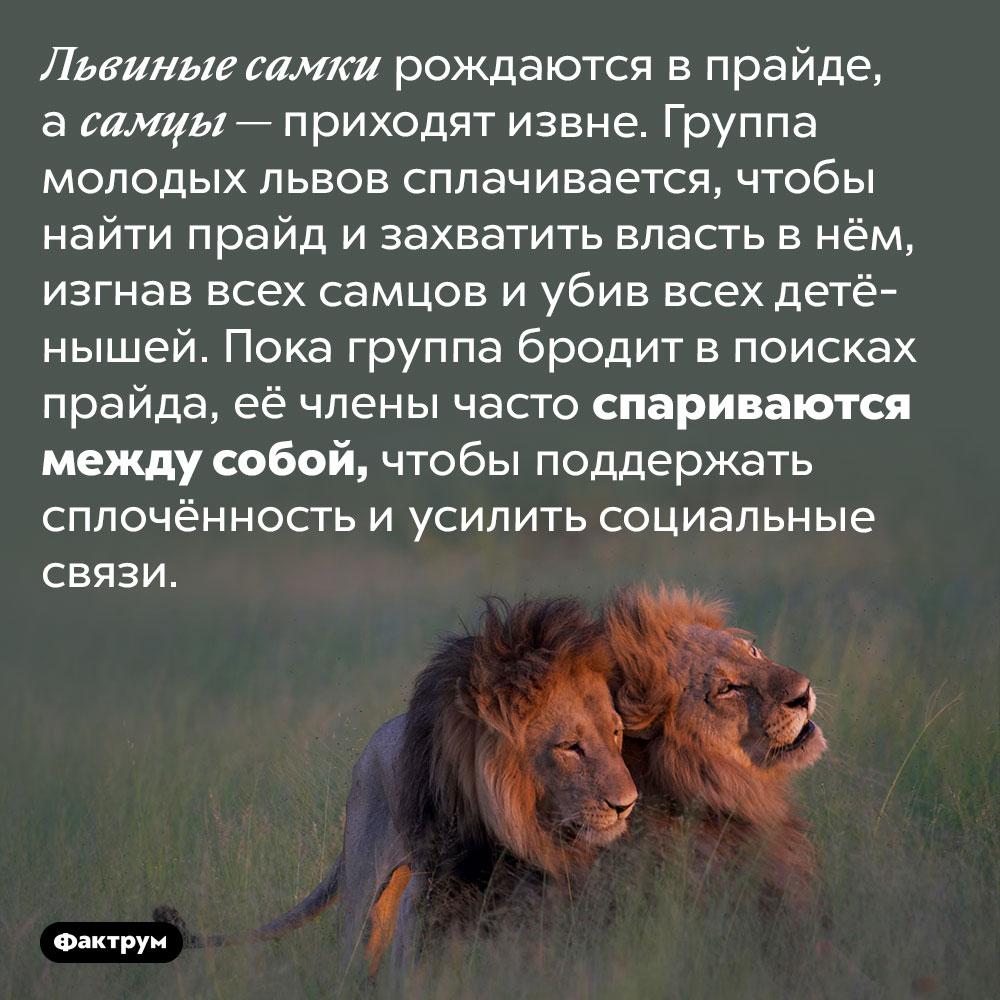 Молодые львы спариваются между собой для поддержания социальных связей. Львиные самки рождаются в прайде, а самцы — приходят извне. Группа молодых львов сплачивается, чтобы найти прайд и захватить власть в нём, изгнав всех самцов и убив всех детёнышей. Пока группа бродит в поисках прайда, её члены часто спариваются между собой, чтобы поддержать сплочённость и усилить социальные связи.