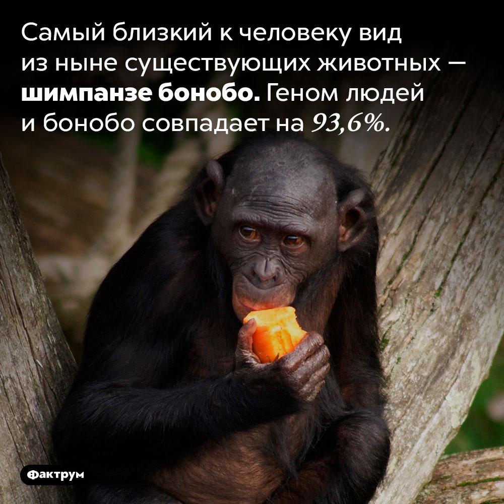 Какое животное ближе всего кчеловеку. Самый близкий к человеку вид из ныне существующих животных — шимпанзе бонобо. Геном людей и бонобо совпадает на 93,6%.