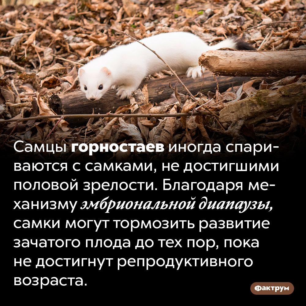 «Суперспособность» самки горностая. Самцы горностаев иногда спариваются с самками, не достигшими половой зрелости. Благодаря механизму эмбриональной диапаузы, самки могут тормозить развитие зачатого плода до тех пор, пока не достигнут репродуктивного возраста.