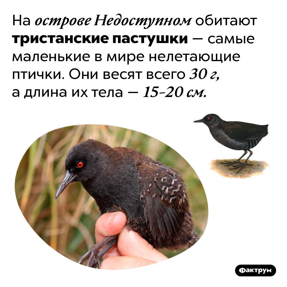 Самые маленькие нелетающие птицы. На острове Недоступном обитают тристанские пастушки — самые маленькие в мире нелетающие птички. Они весят всего 30 г, а длина их тела — 15-20 см.