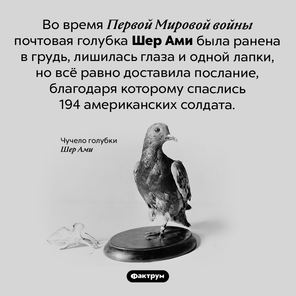 Шер Ами — голубка-герой. Во время Первой Мировой войны почтовая голубка Шер Ами была ранена в грудь, лишилась глаза и одной лапки, но всё равно доставила послание, благодаря которому спаслись 194 американских солдата.