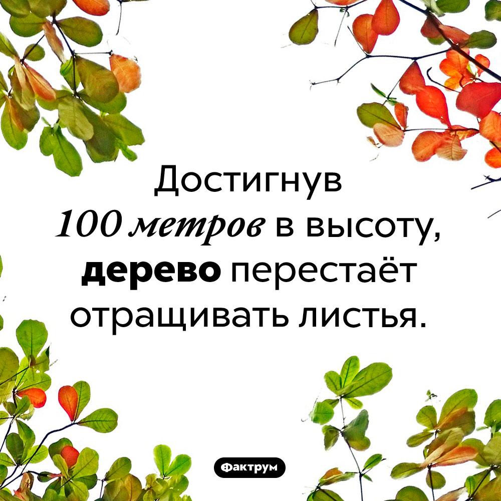При какой высоте дерево перестаёт отращивать листья. Достигнув 100 метров в высоту, дерево перестаёт отращивать листья.
