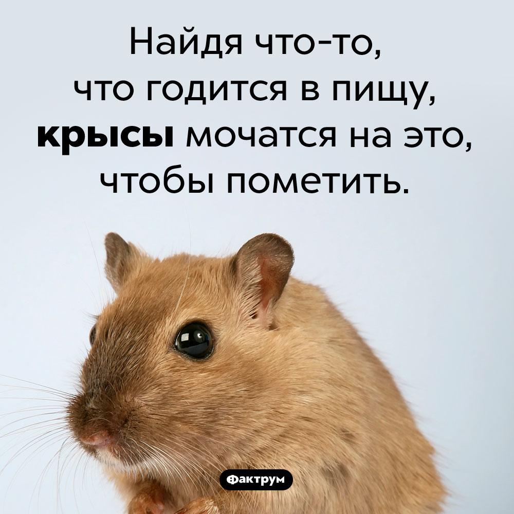 Зачем крысы мочатся наеду. Найдя что-то, что годится в пищу, крысы мочатся на это, чтобы пометить.