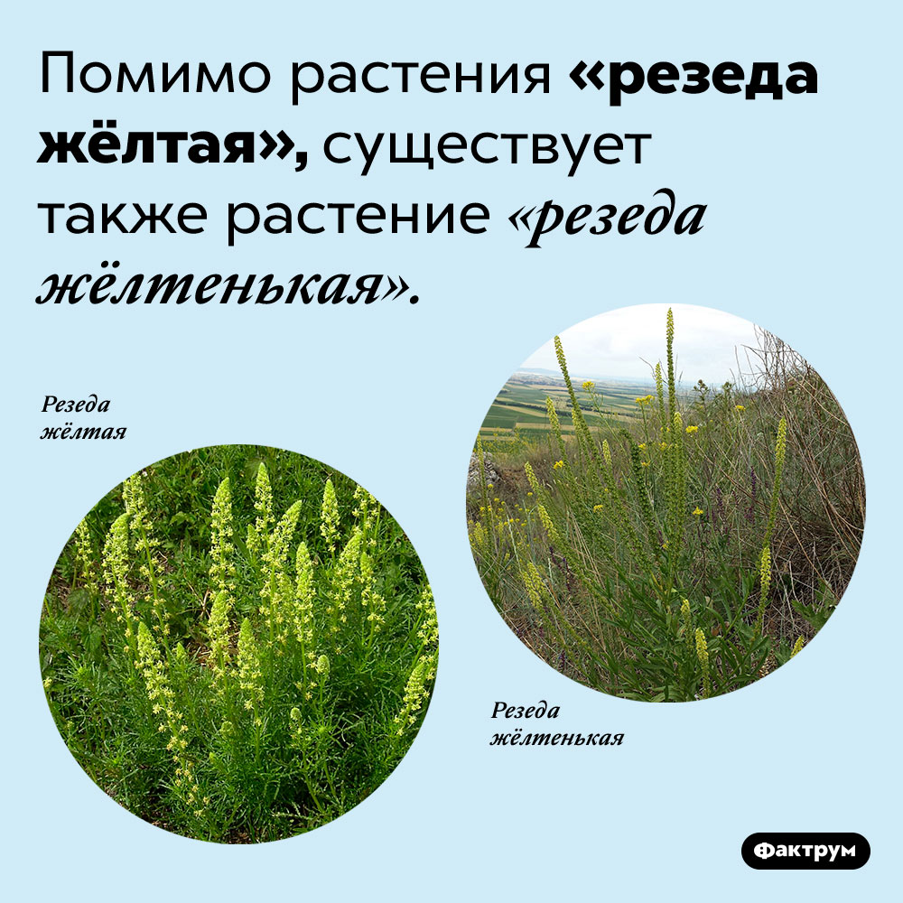 Резеда жёлтая ирезеда жёлтенькая. Помимо растения «резеда жёлтая», существует также растение «резеда жёлтенькая».