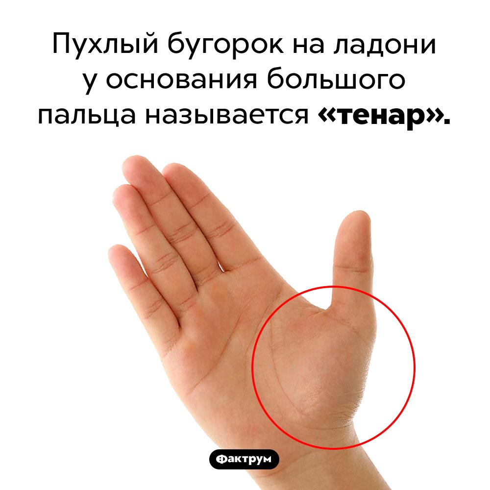 Как называется бугорок уоснования большого пальца. Пухлый бугорок на ладони у основания большого пальца называется «тенар».