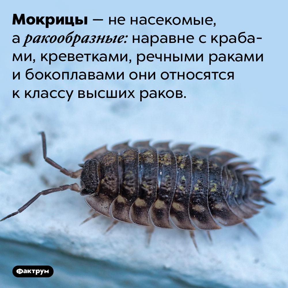 Мокрицы — ненасекомые. Мокрицы — не насекомые, а ракообразные: наравне с крабами, креветками, речными раками и бокоплавами они относятся к классу высших раков.
