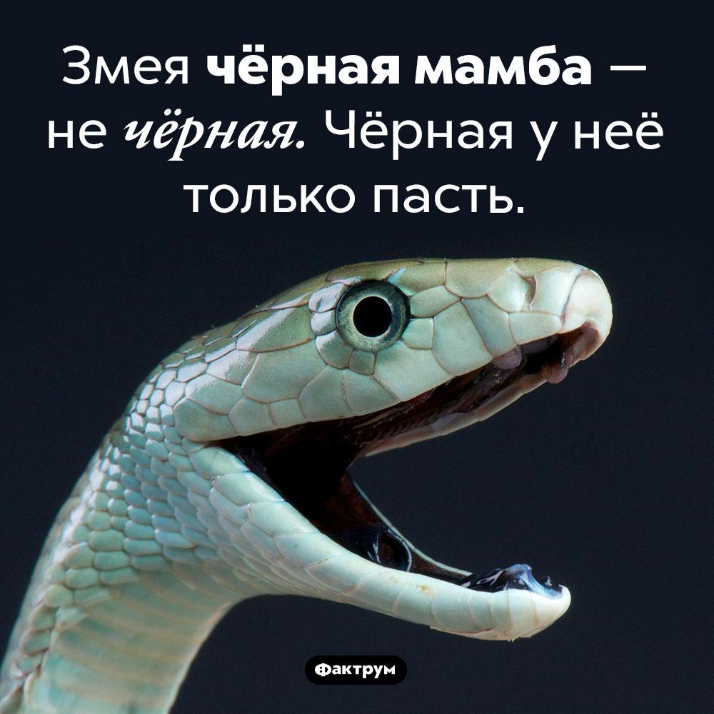 Чёрная мамба — нечёрная. Змея чёрная мамба — не чёрная. Чёрная у неё только пасть.