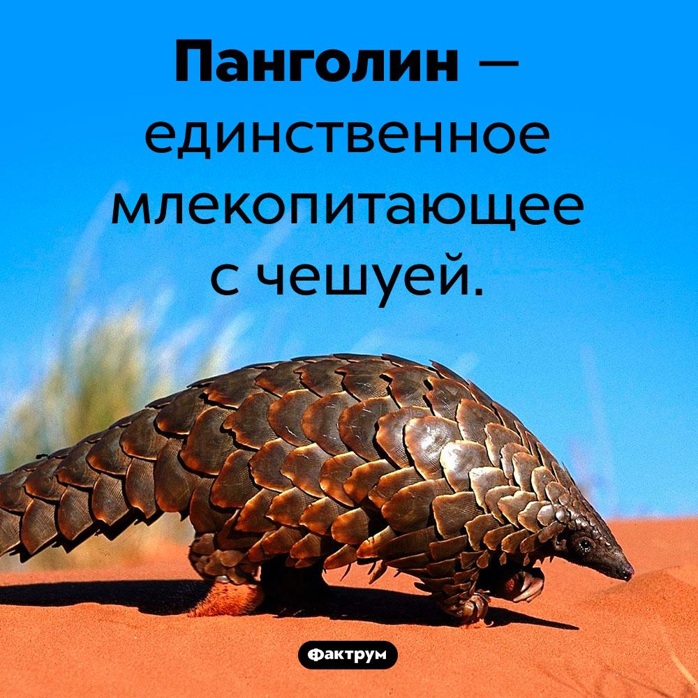 Единственное чешуйчатое млекопитающее. Панголин — единственное млекопитающее с чешуей.