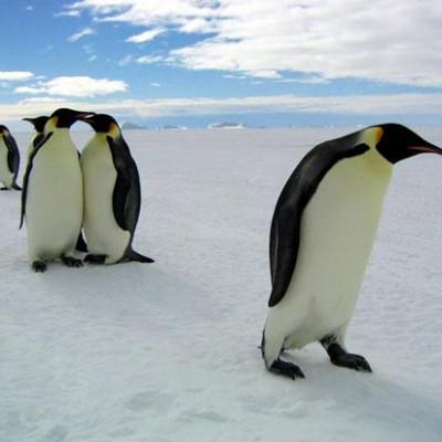 Пингвины женского пола участвуют в проституции