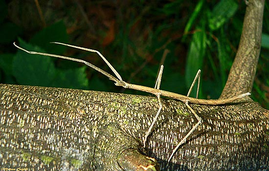 Длина тела самого крупного насекомого в мире составляет полметра