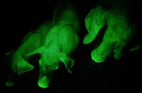 В 2006-ом году были выведены зелёные светящиеся поросята
