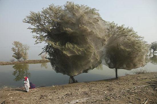 В Пакистане на деревьях «растёт» гигантская паутина