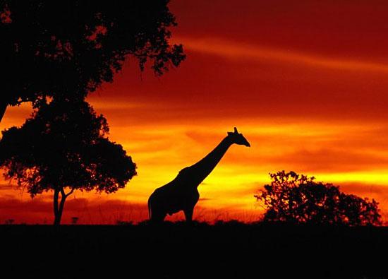 7 фактов о жирафах