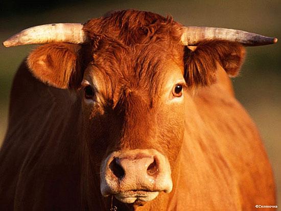 В Индии производится прохладительный напиток на основе коровьей мочи