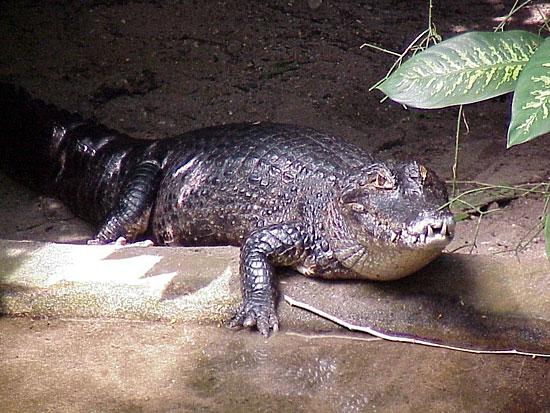 Крокодилы глотают камни