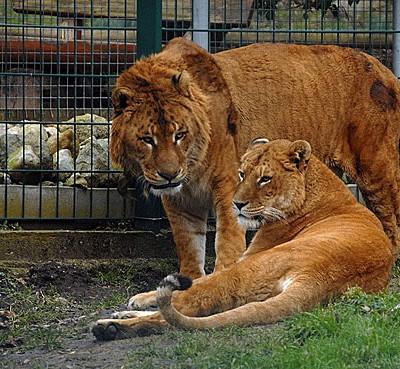 Лигр (гибрид между львом-самцом и тигрицей-самкой) является «самой большой кошкой» на планете.