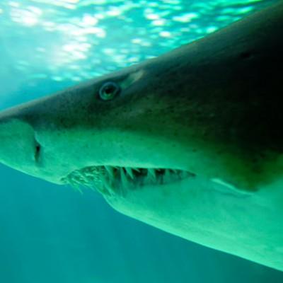 У некоторых видов акул детёныши пожирают друг друга в матке