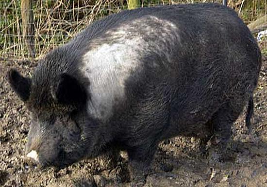 Свинья из железного века