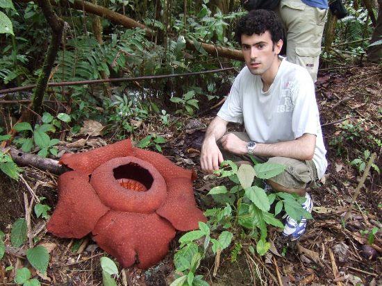 Самый большой цветок в мире является паразитом и питается мухами