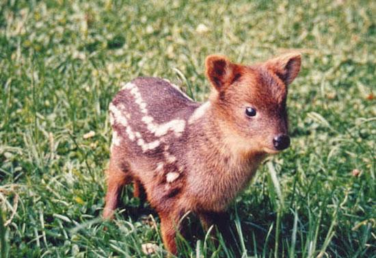 Существует вид оленей размером с небольшую собаку