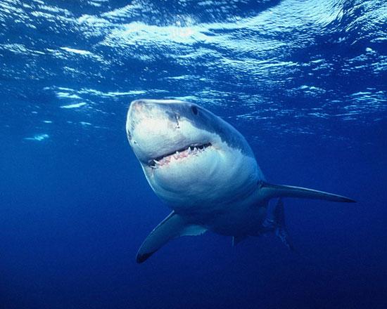 Акулы могут размножаться «непорочным зачатием»